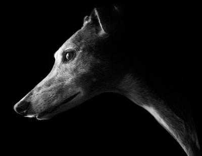 grehound face on dark background