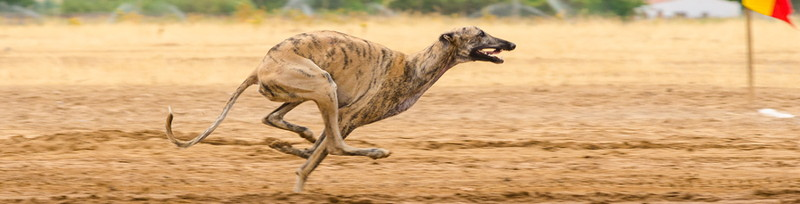 greyhound running at top speed