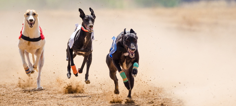 greyhounds racing at speed
