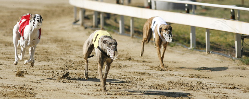 greyhound race dogs running at speed